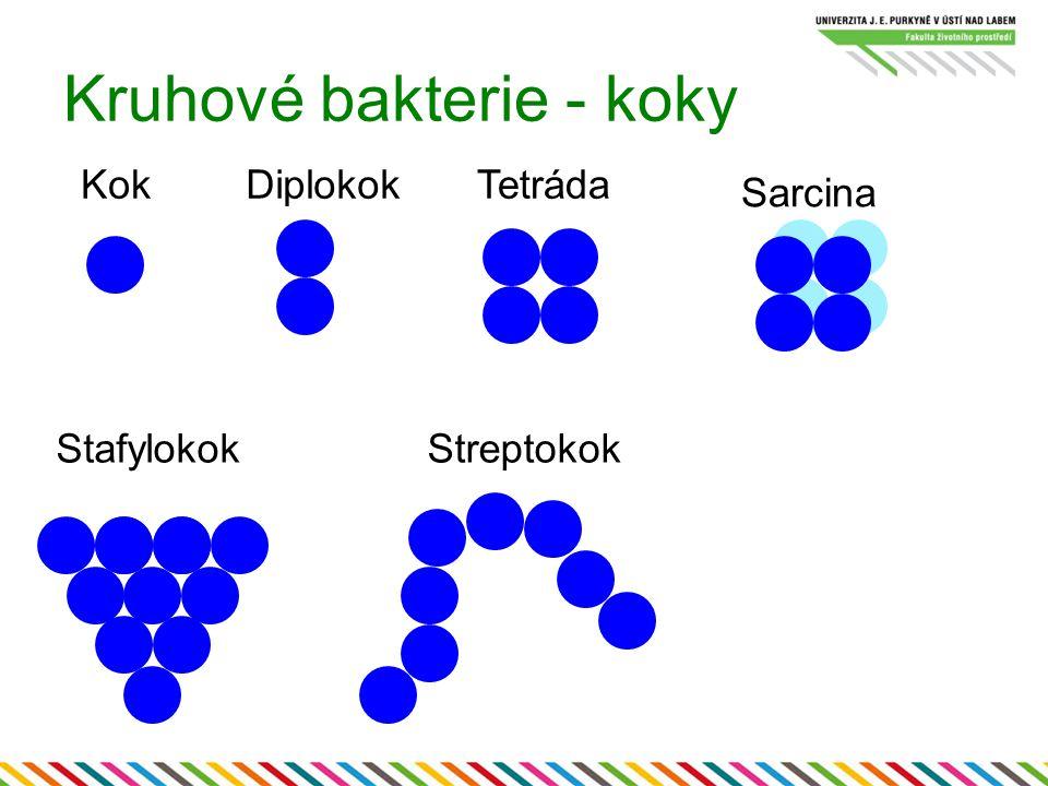 Kruhové bakterie - koky