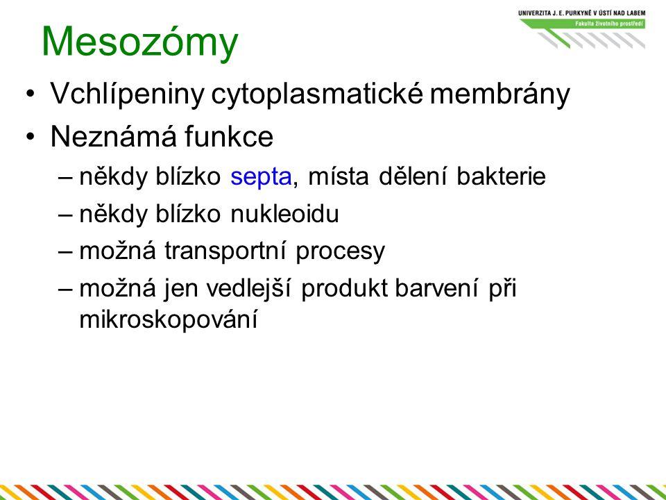 Mesozómy Vchlípeniny cytoplasmatické membrány Neznámá funkce