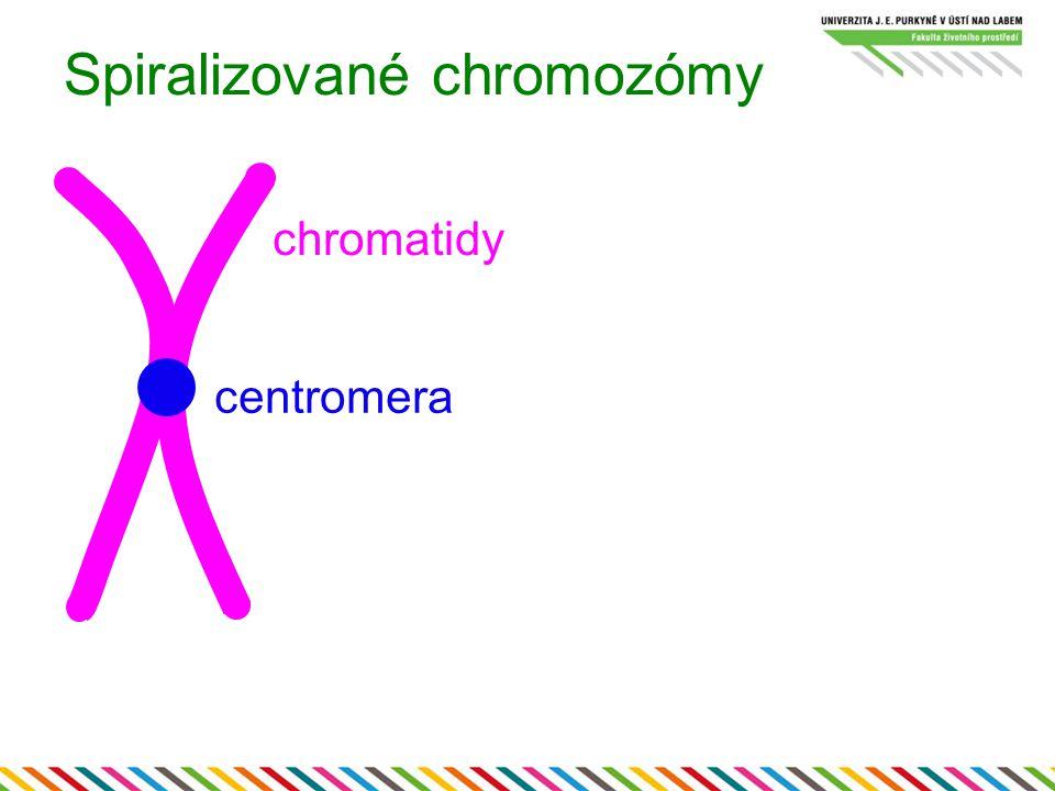 Spiralizované chromozómy