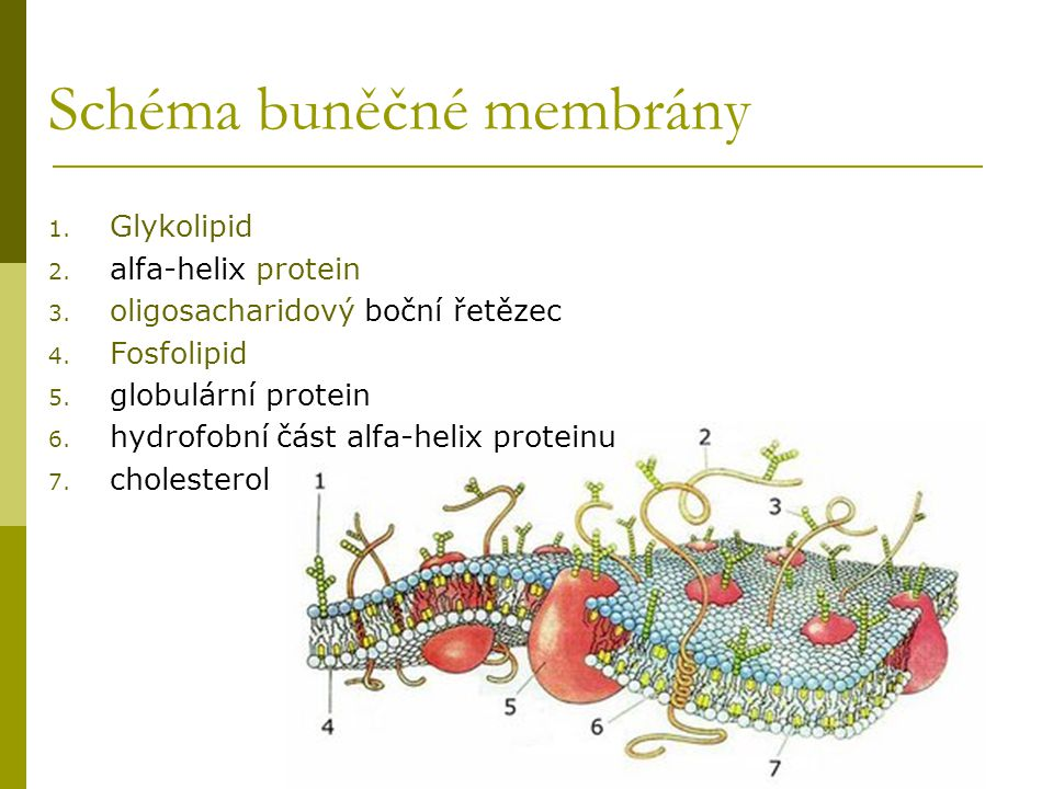 Schéma buněčné membrány