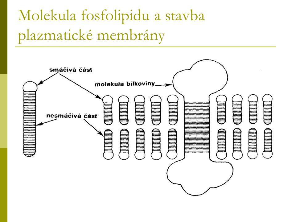 Molekula fosfolipidu a stavba plazmatické membrány