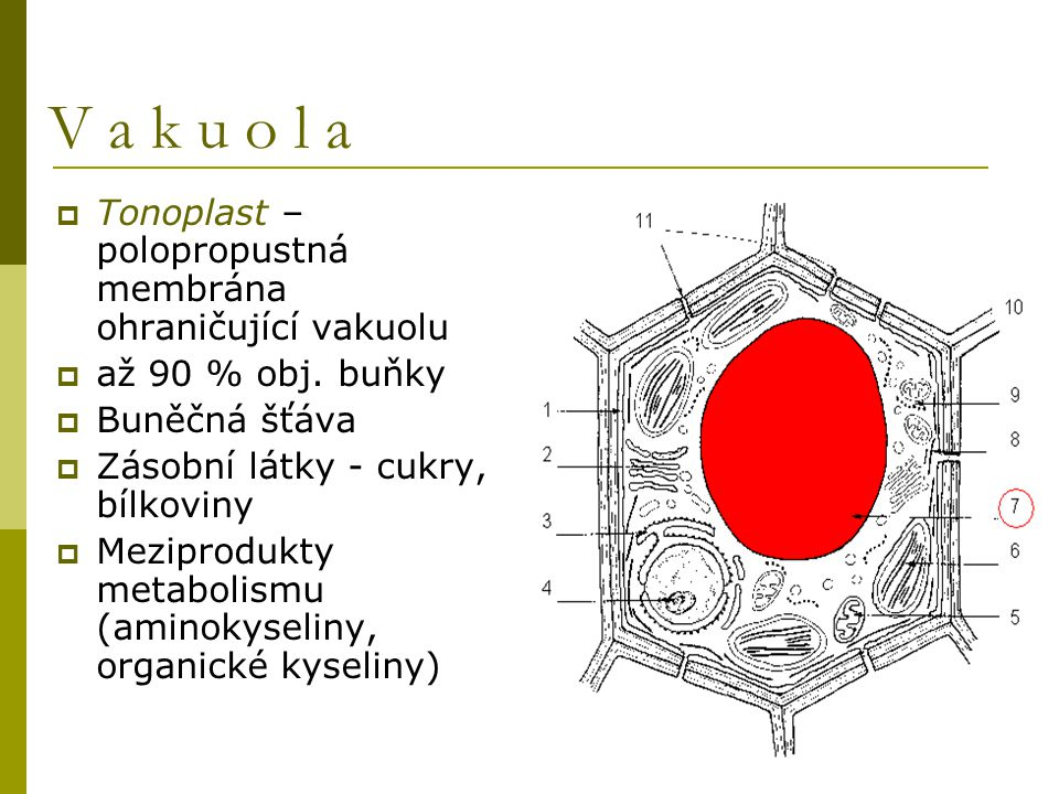 V a k u o l a Tonoplast – polopropustná membrána ohraničující vakuolu