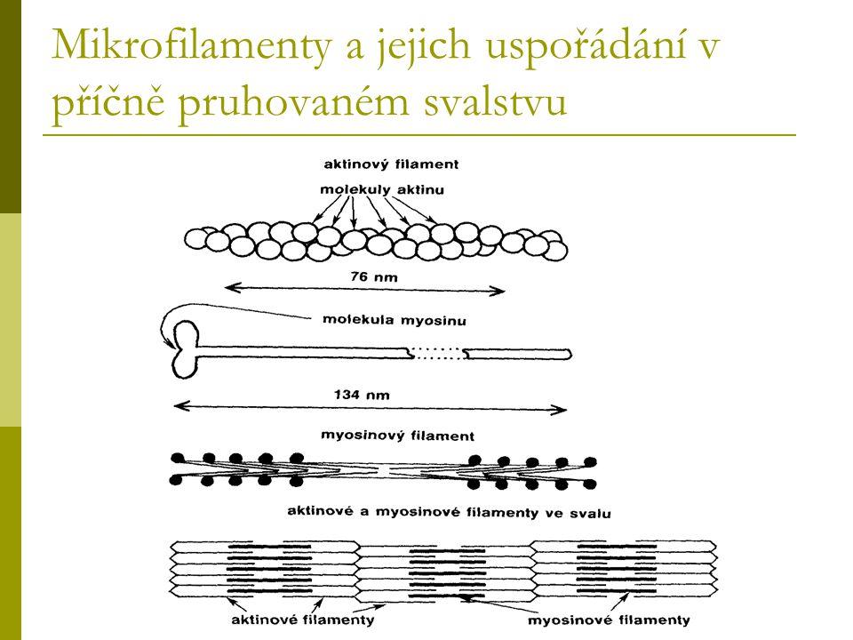 Mikrofilamenty a jejich uspořádání v příčně pruhovaném svalstvu