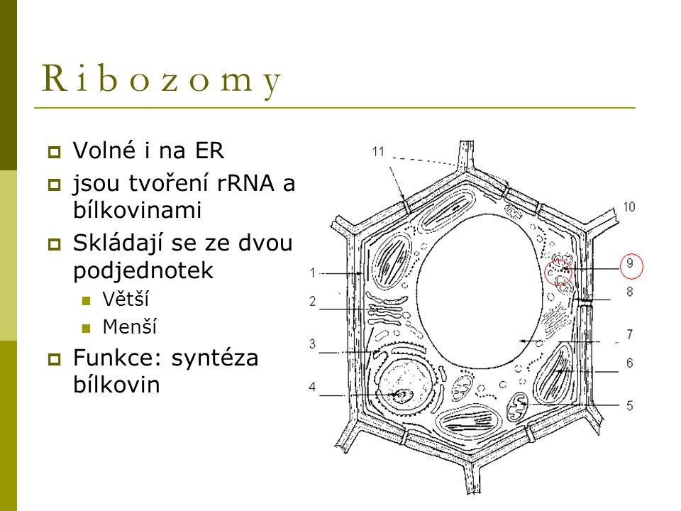 R i b o z o m y Volné i na ER jsou tvoření rRNA a bílkovinami