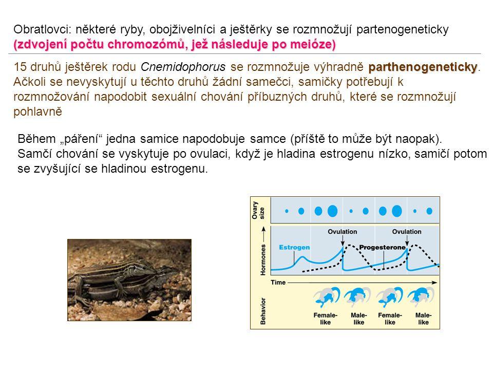 Obratlovci: některé ryby, obojživelníci a ještěrky se rozmnožují partenogeneticky (zdvojení počtu chromozómů, jež následuje po meióze)