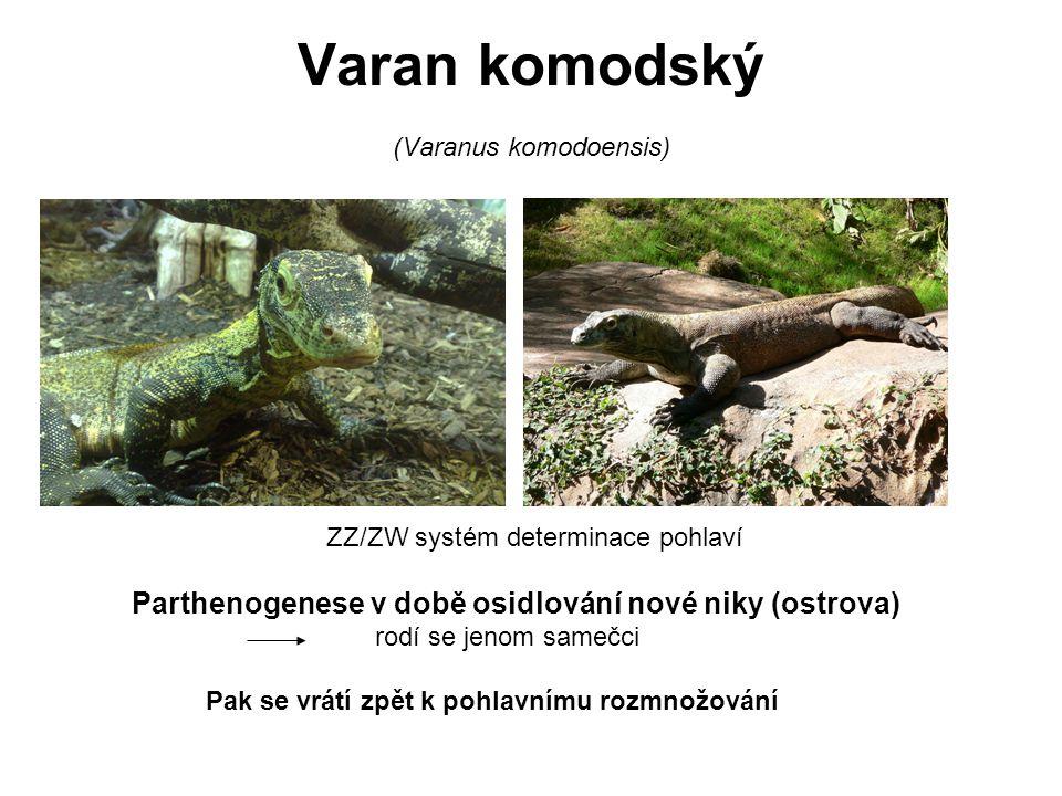 Varan komodský (Varanus komodoensis)