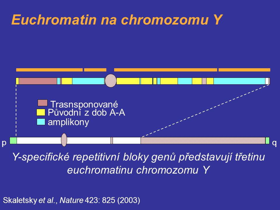 Euchromatin na chromozomu Y