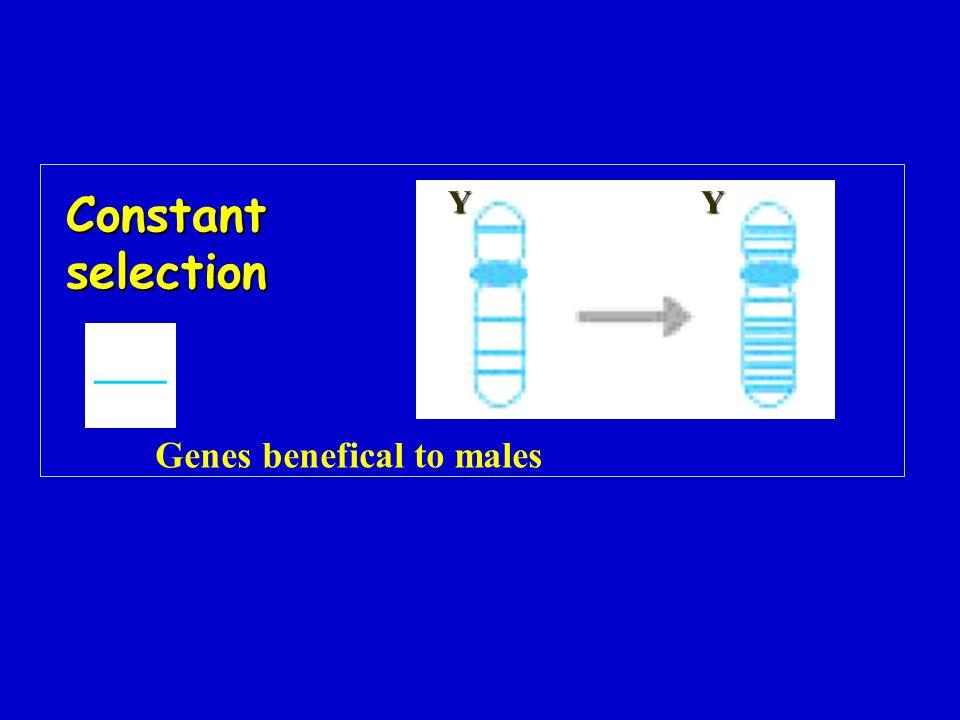 Constant selection Y Y ___ Genes benefical to males