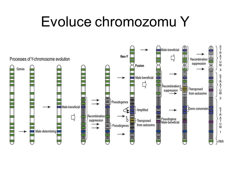 Evoluce chromozomu Y