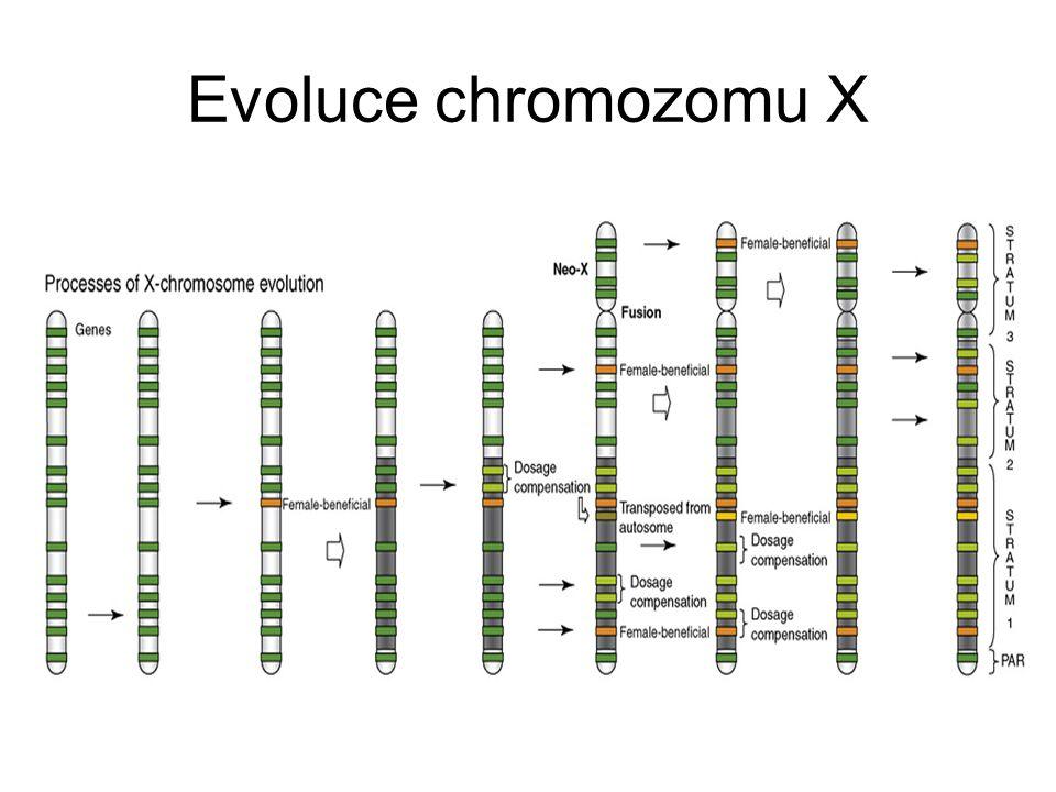 Evoluce chromozomu X