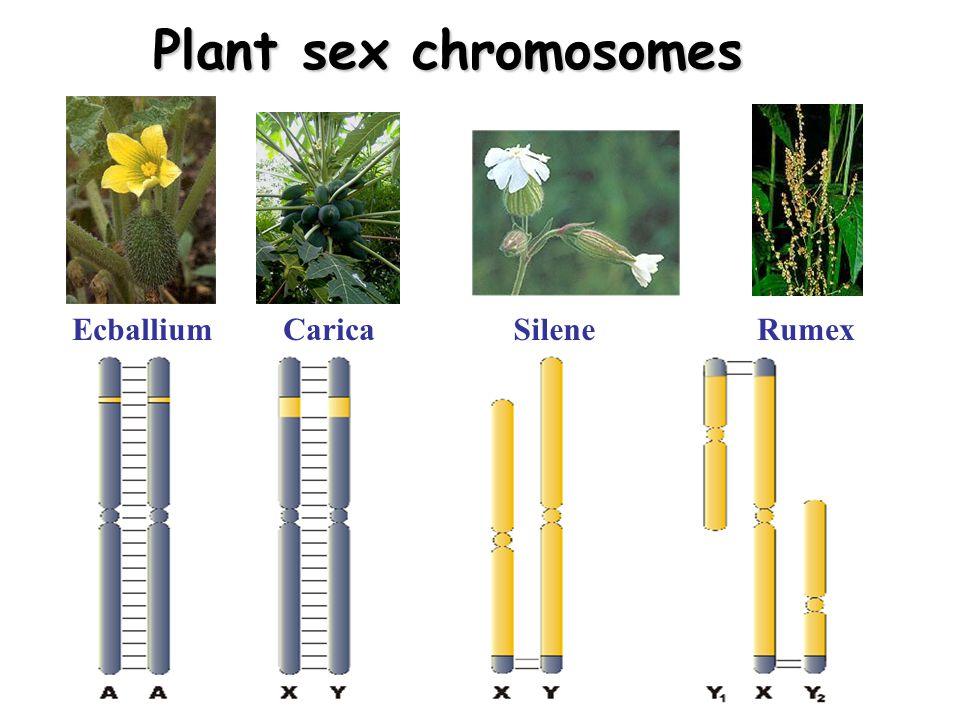 Plant sex chromosomes Ecballium Carica Silene Rumex