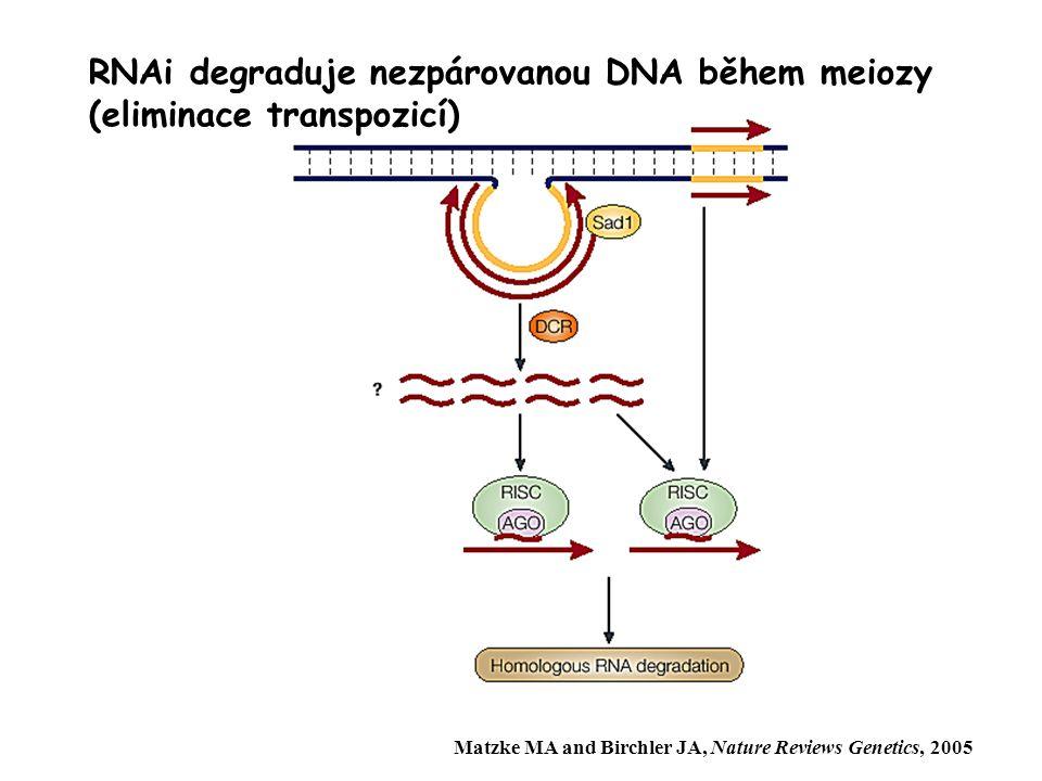 RNAi degraduje nezpárovanou DNA během meiozy (eliminace transpozicí)