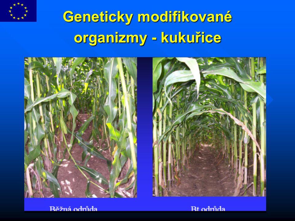 Geneticky modifikované organizmy - kukuřice