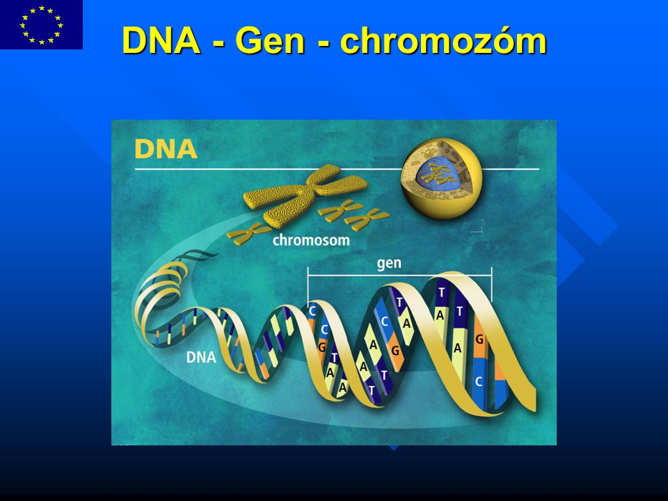 DNA - Gen - chromozóm