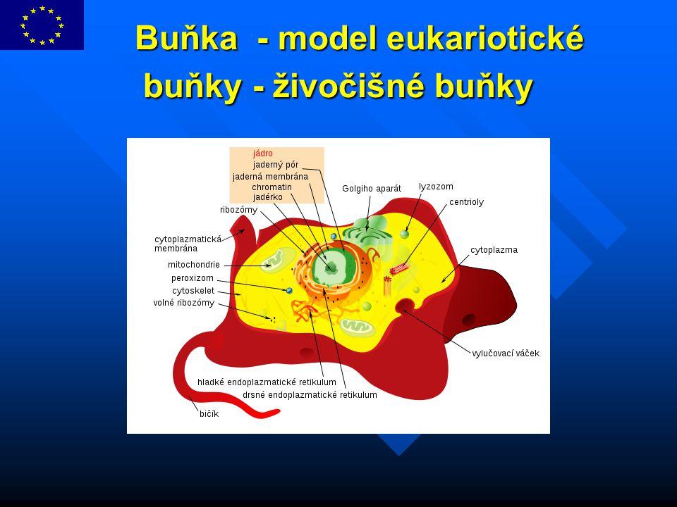 Buňka - model eukariotické buňky - živočišné buňky