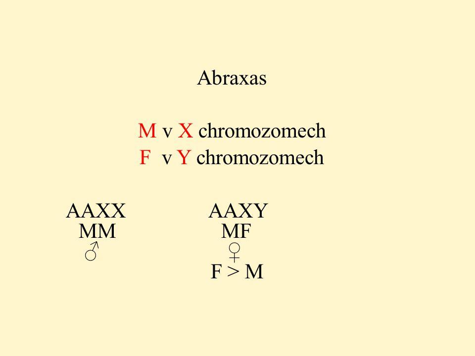 Abraxas M v X chromozomech F v Y chromozomech AAXX AAXY MM MF ♂ ♀ F > M