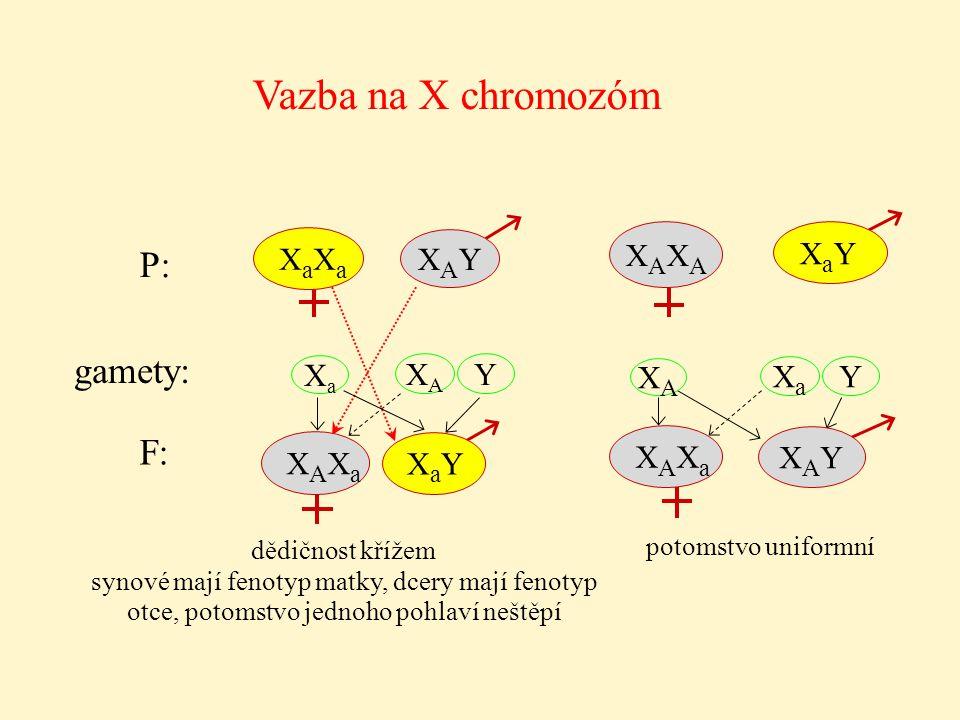 Vazba na X chromozóm P: gamety: F: XaXa XAXA XaY XAY Xa XA Y XA Xa Y