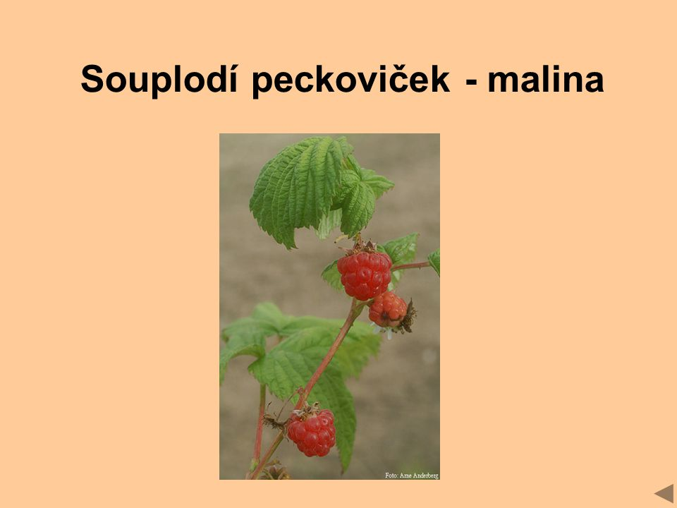 Souplodí peckoviček - malina