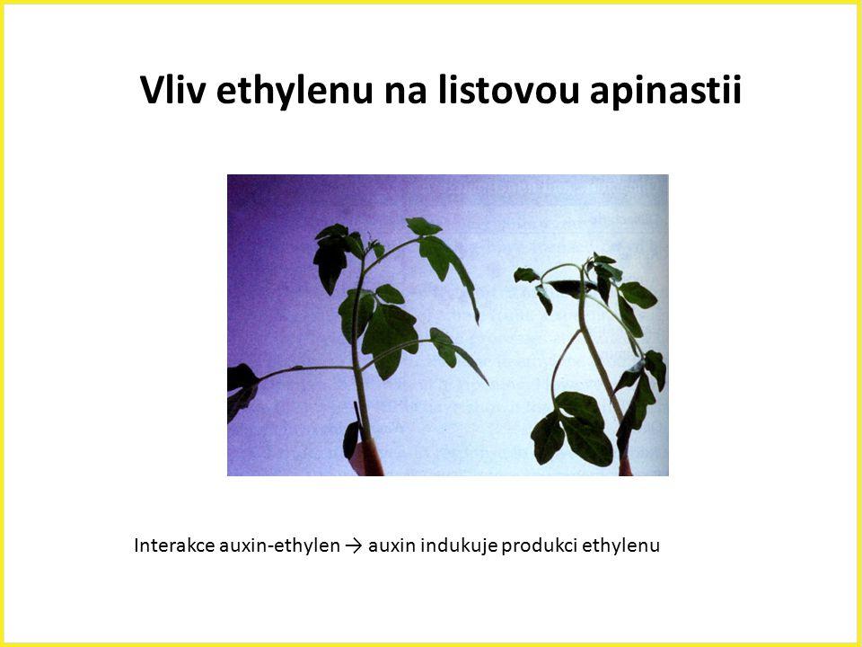 Vliv ethylenu na listovou apinastii