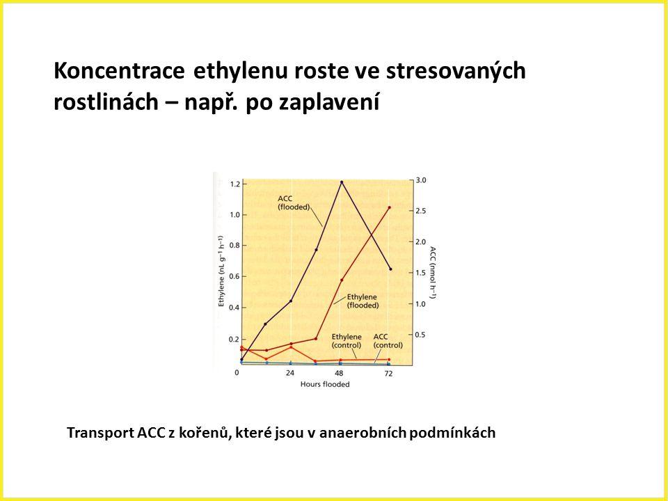 Koncentrace ethylenu roste ve stresovaných
