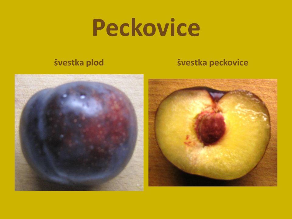 Peckovice švestka plod švestka peckovice
