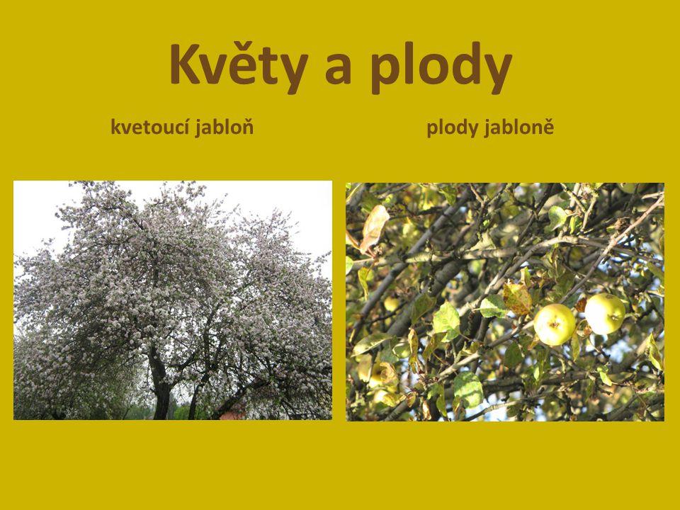 Květy a plody kvetoucí jabloň plody jabloně