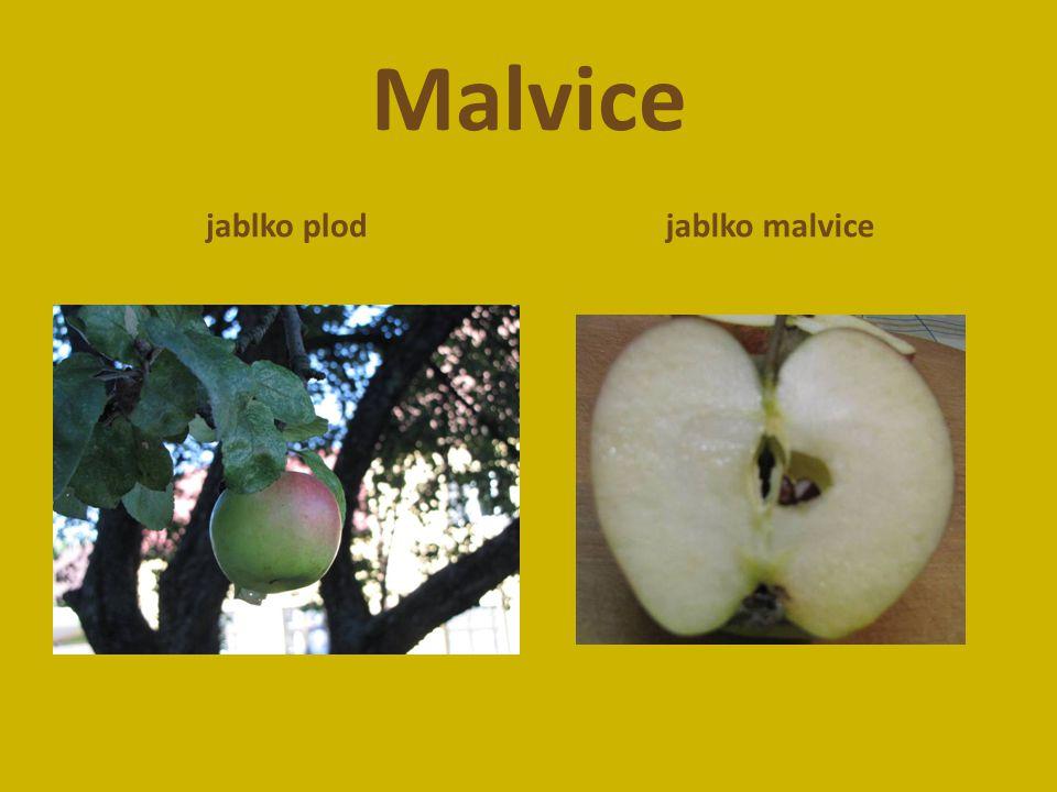 Malvice jablko plod jablko malvice