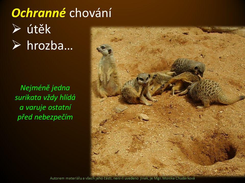 Nejméně jedna surikata vždy hlídá a varuje ostatní před nebezpečím