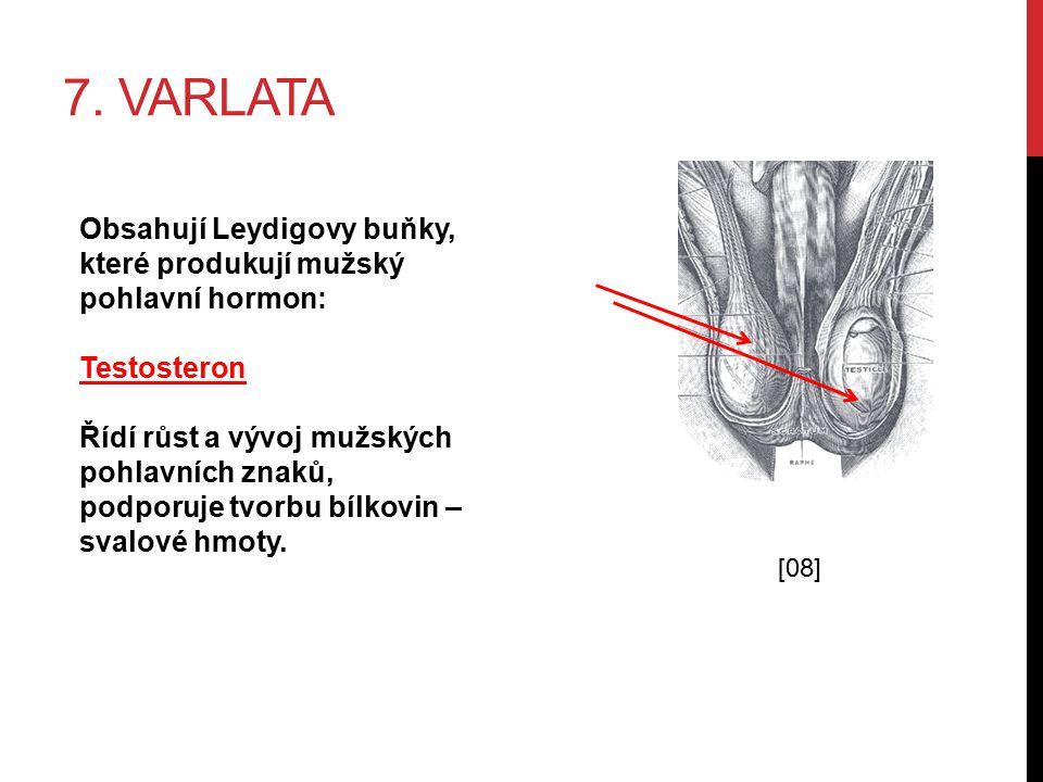 7. varlata Obsahují Leydigovy buňky, které produkují mužský pohlavní hormon: Testosteron.