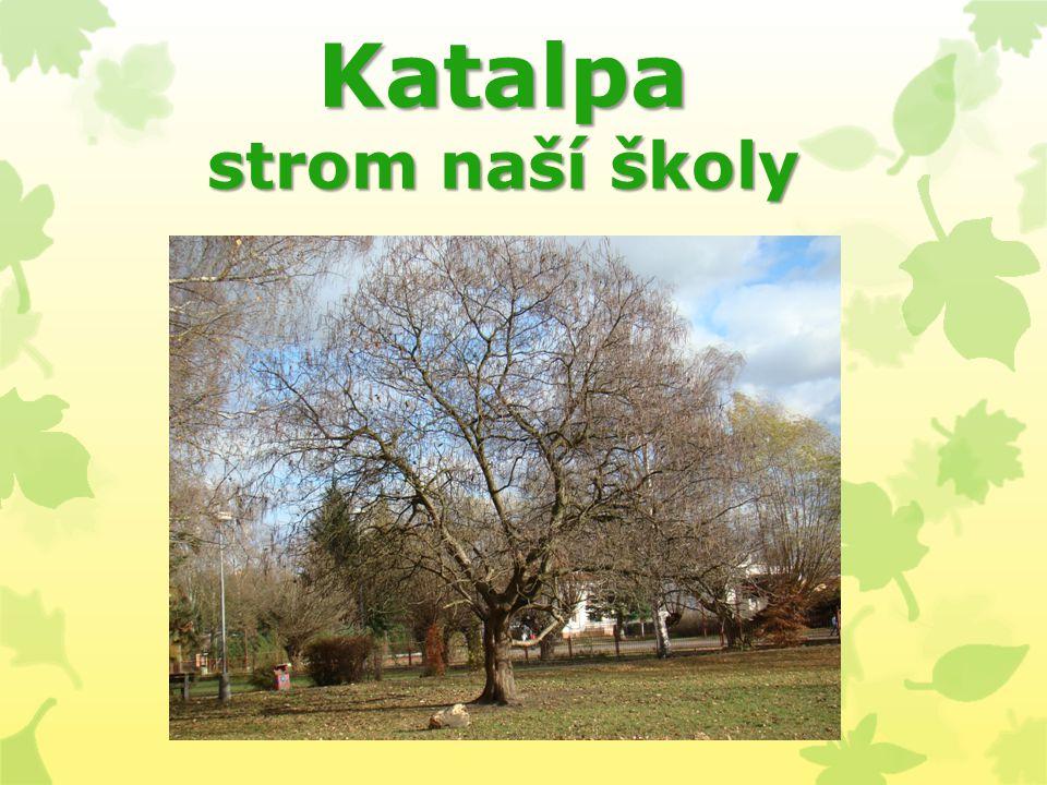 Katalpa strom naší školy