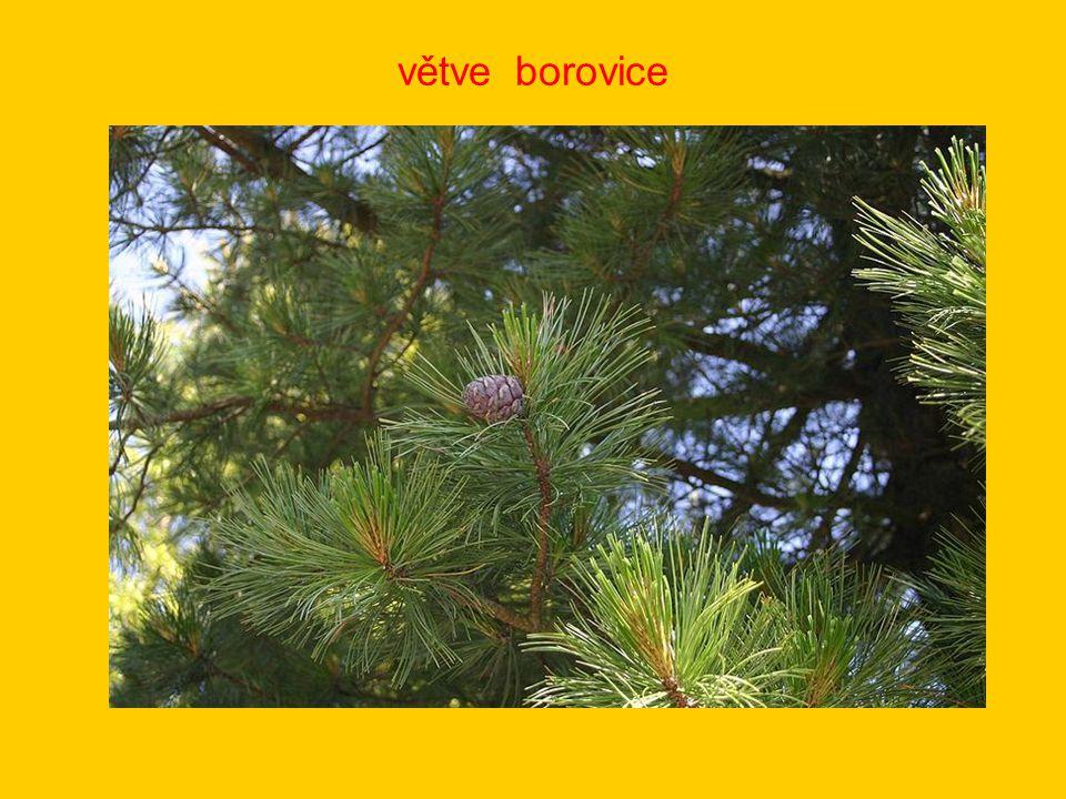 větve borovice