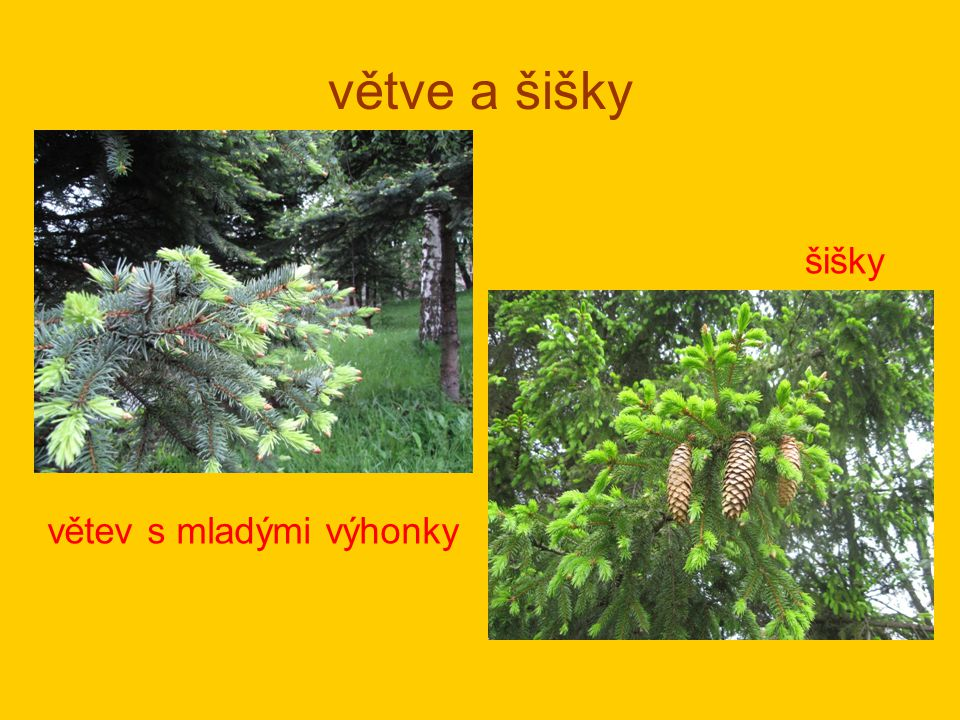 větve a šišky šišky větev s mladými výhonky