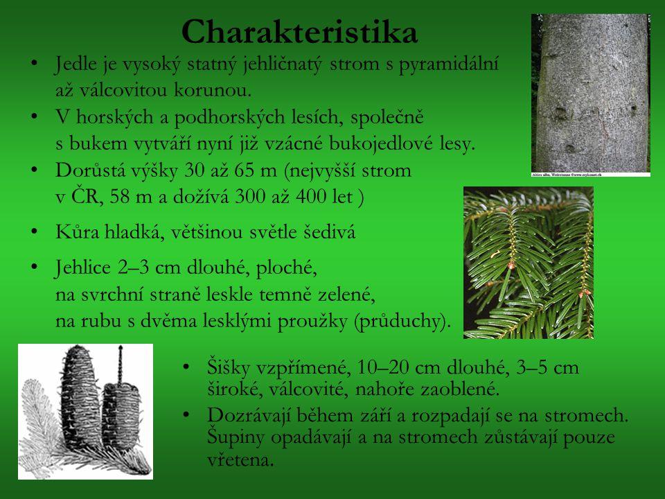 Charakteristika Jedle je vysoký statný jehličnatý strom s pyramidální