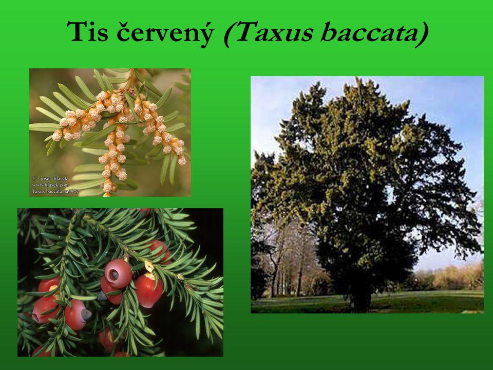 Tis červený (Taxus baccata)