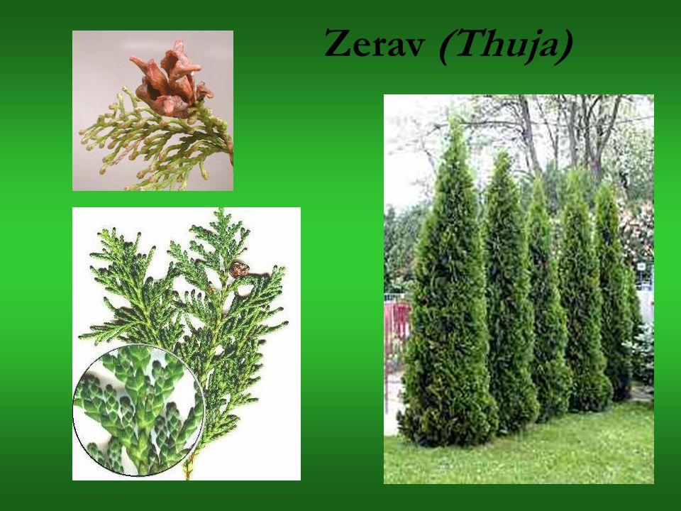 Zerav (Thuja)