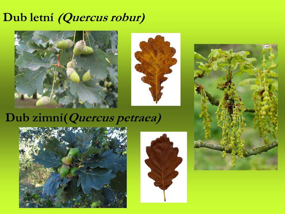 Dub zimní(Quercus petraea)