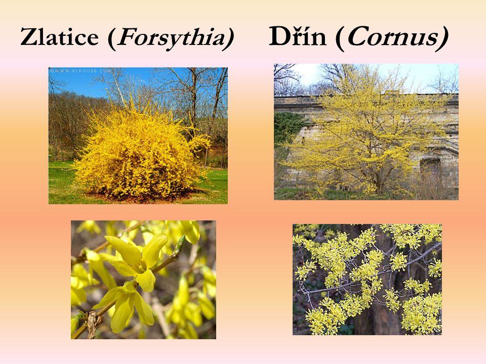 Zlatice (Forsythia) Dřín (Cornus)