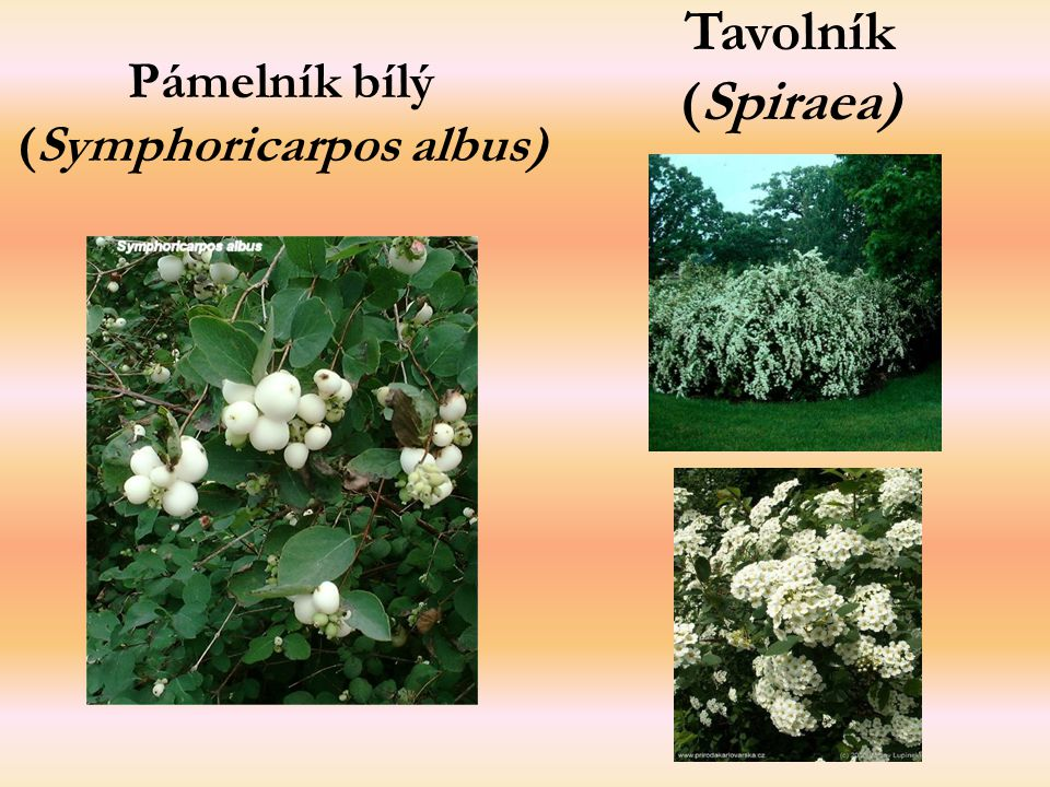 Pámelník bílý (Symphoricarpos albus)
