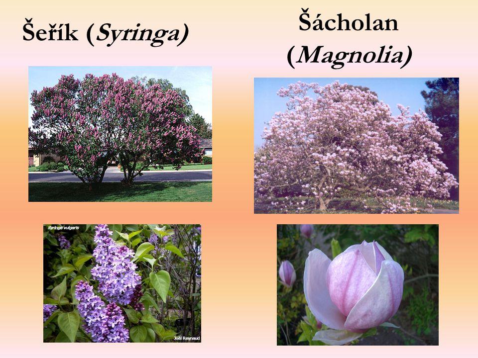 Šácholan (Magnolia) Šeřík (Syringa)