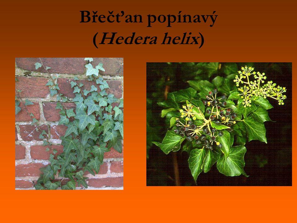 Břečťan popínavý (Hedera helix)