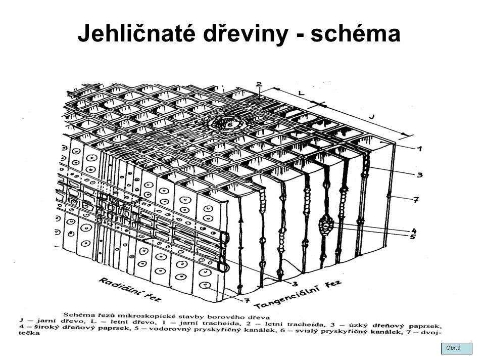 Jehličnaté dřeviny - schéma