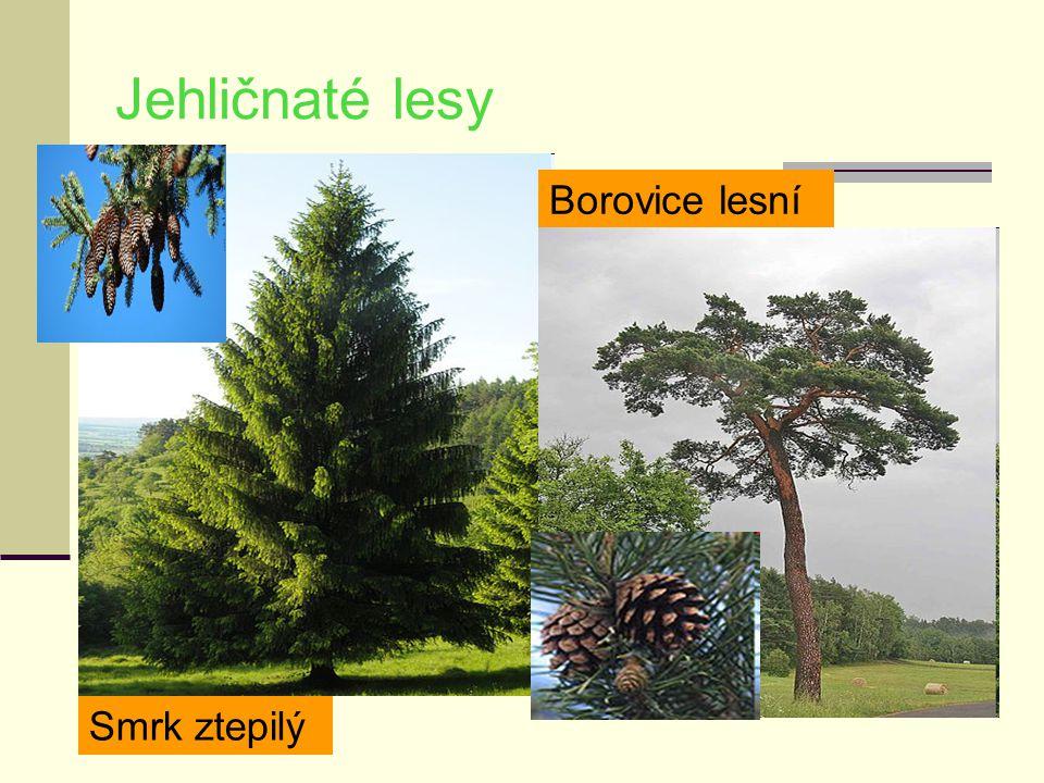 Jehličnaté lesy Borovice lesní Smrk ztepilý