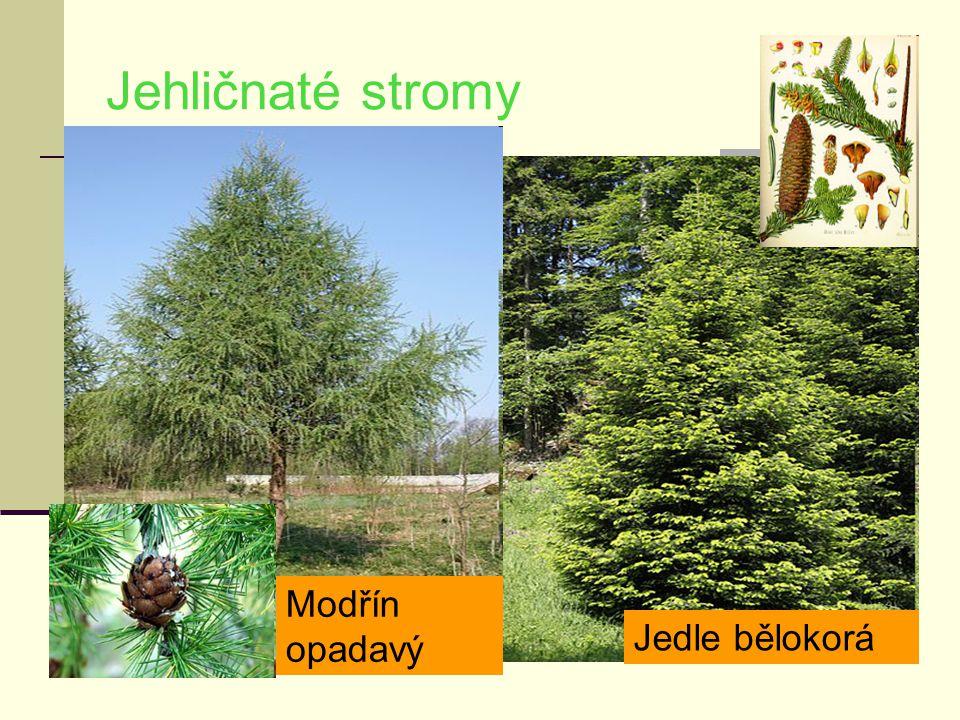 Jehličnaté stromy Modřín opadavý Jedle bělokorá