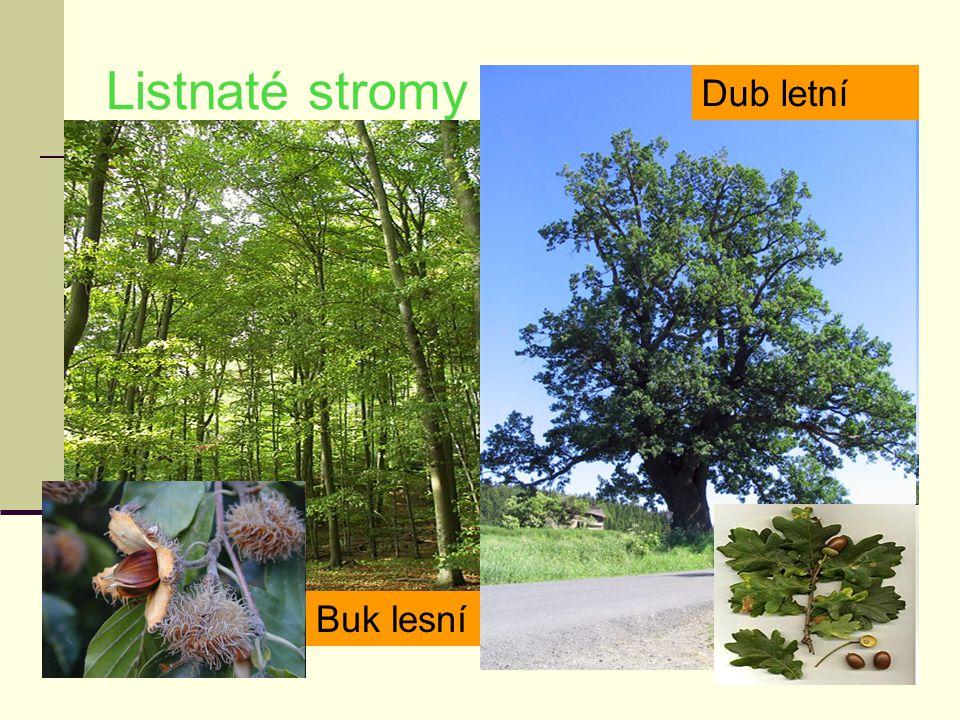 Listnaté stromy Dub letní Buk lesní