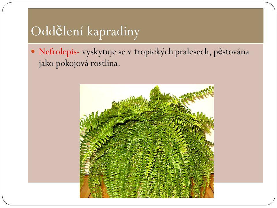 Oddělení kapradiny Nefrolepis- vyskytuje se v tropických pralesech, pěstována jako pokojová rostlina.