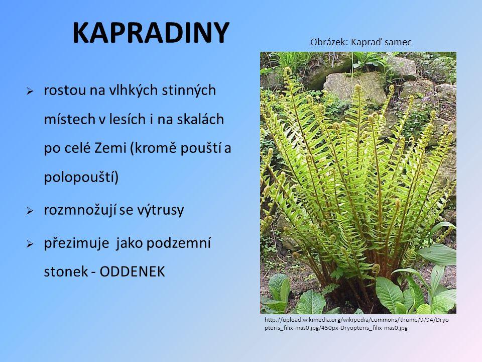 KAPRADINY Obrázek: Kapraď samec. rostou na vlhkých stinných místech v lesích i na skalách po celé Zemi (kromě pouští a polopouští)