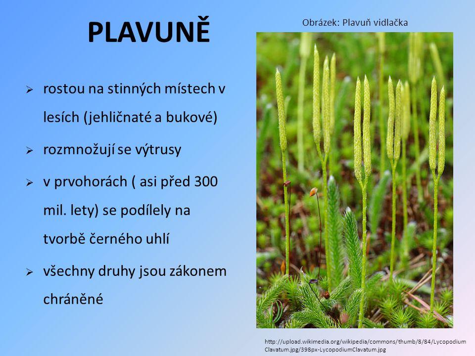 PLAVUNĚ rostou na stinných místech v lesích (jehličnaté a bukové)
