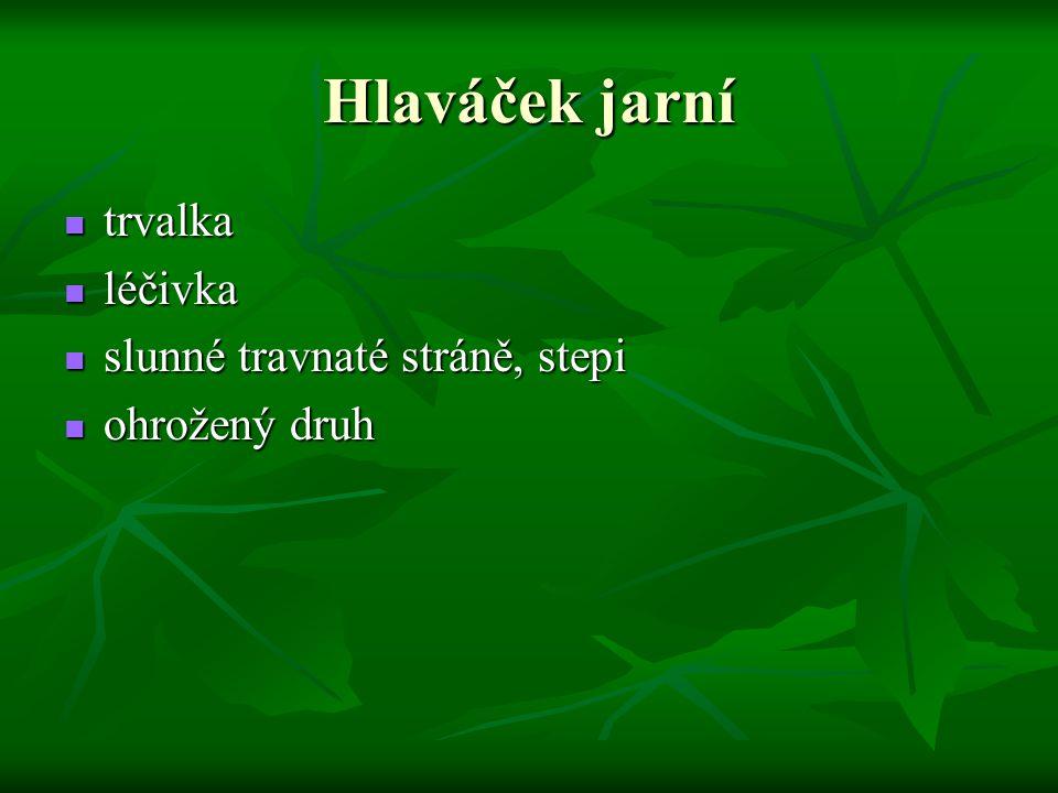 Hlaváček jarní trvalka léčivka slunné travnaté stráně, stepi