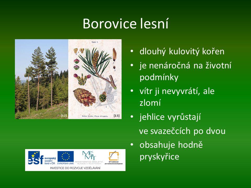 Borovice lesní dlouhý kulovitý kořen je nenáročná na životní podmínky