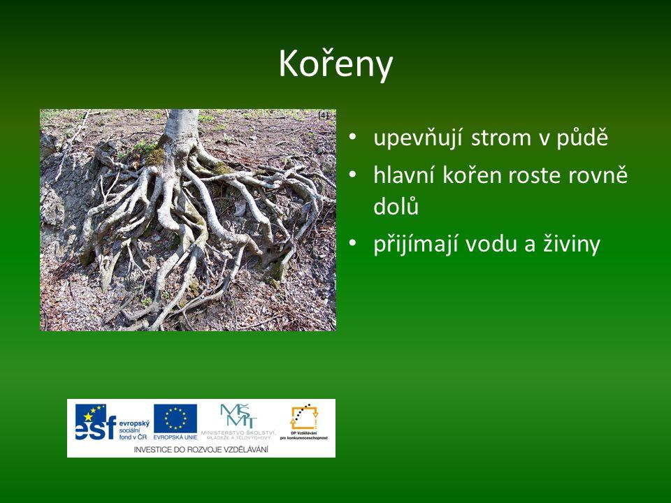 Kořeny upevňují strom v půdě hlavní kořen roste rovně dolů